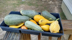 A part of one day's harvest of squash from the Urban Farm