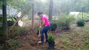 Digging holes for boxwoods at the Urban Farm